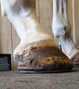 A lateral or side view of the hoof on the ground