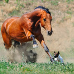 Horse with healthy hooves running after a dog